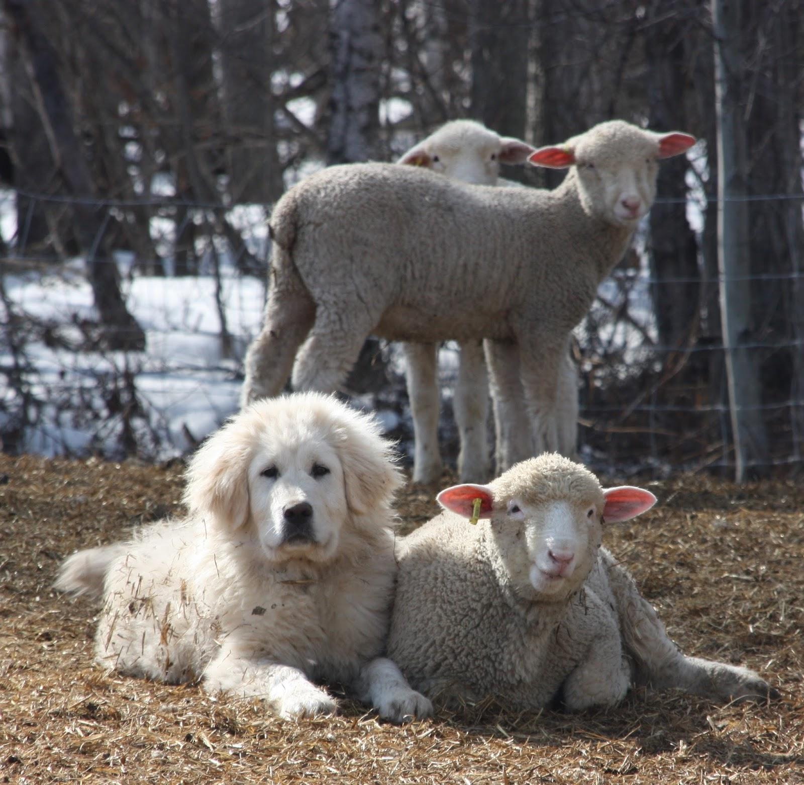 Gueard dog with sheep