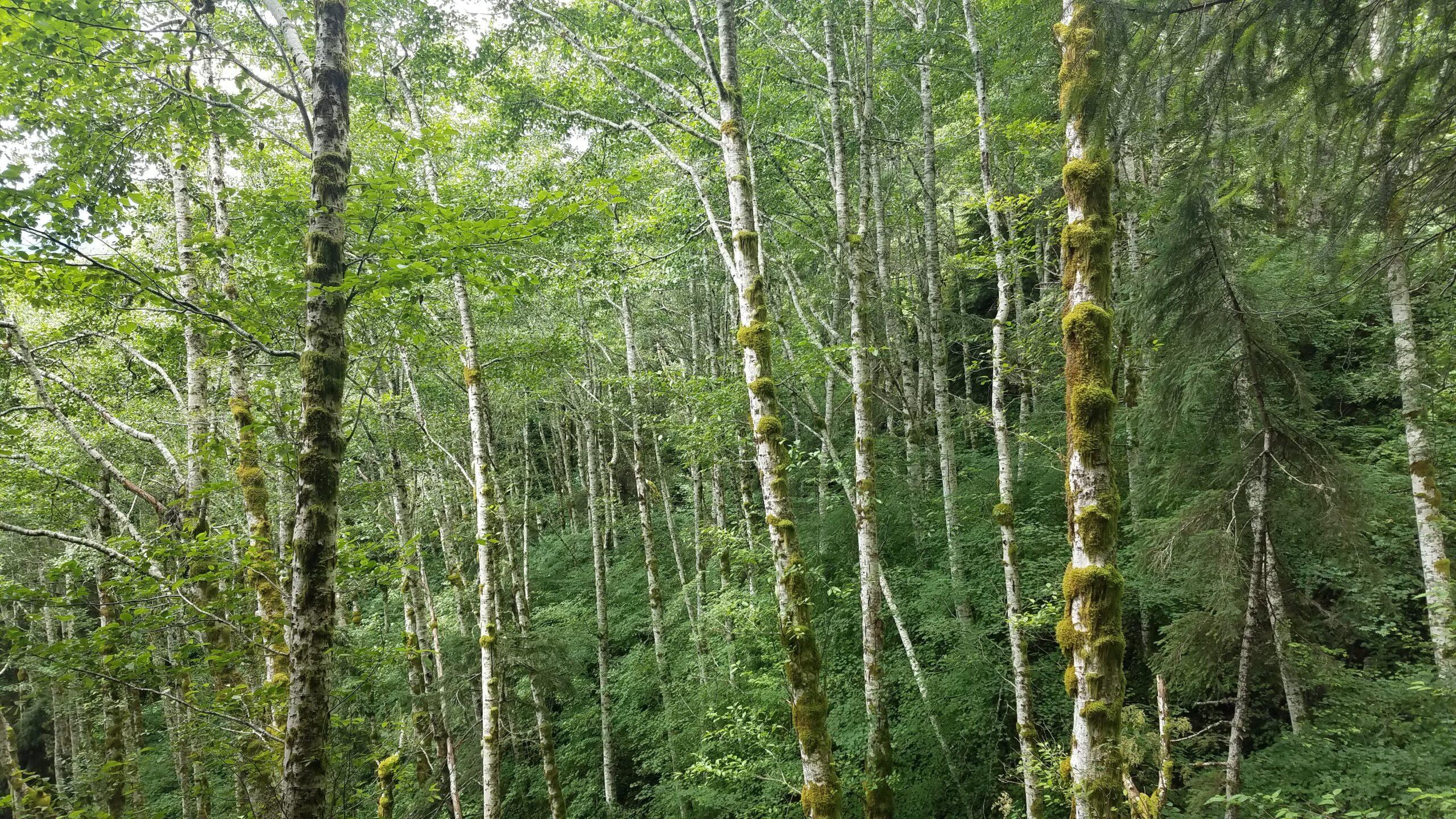 red alder trees